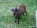 Winnie mouton de Soay