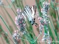 Papilio Machaon4