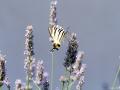 Papilio Machaon5