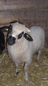 Mouton Thones_Flocon