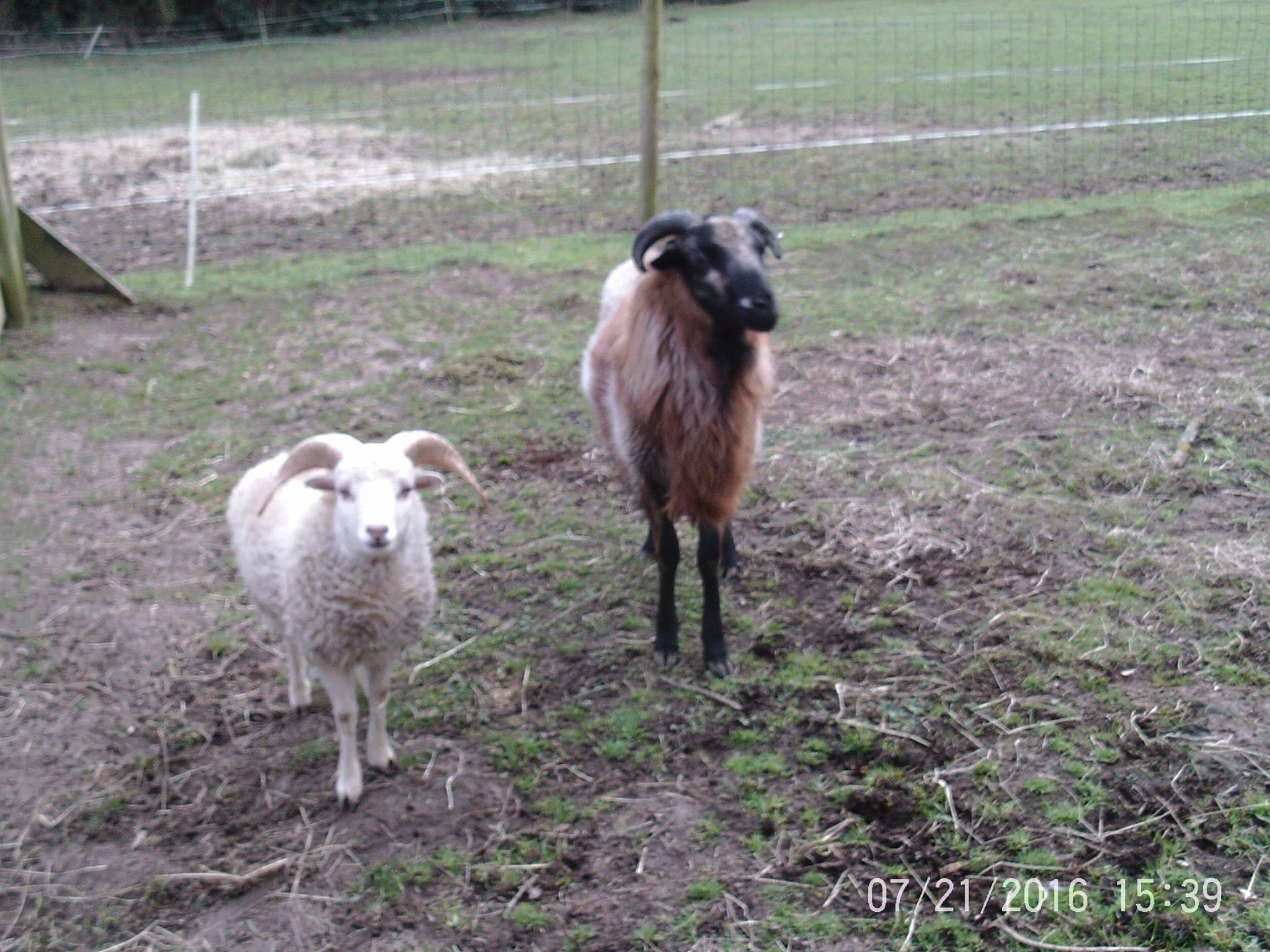 mouton_belier